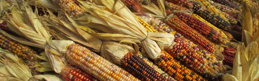 Indian Corn at Pete's Produce, West Chester, Chester County